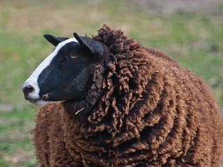 I am the black sheep. Portrait of a black sheep.