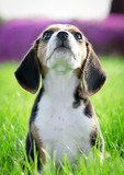 beautiful thoroughbred beagle puppy on grass (focus on whiskers) poster