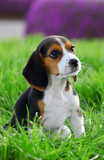 pedigree beagle puppy playing outside in the grass poster