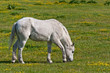 White horse quitly grazing in the meadow with yellow buttercups