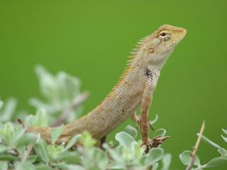 tree lizard in thailand