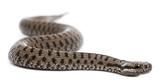 Common European adder or common European viper, Vipera berus