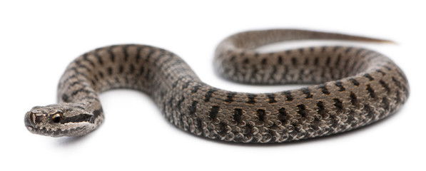 Common European adder or common European viper, Vipera berus