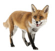 Red Fox, Vulpes vulpes, 4 years old, in front of white