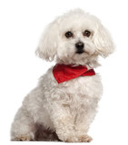 Bichon Frise, 7 years old, sitting in front of white background poster