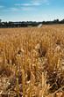 champ de blé après la moisson