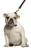 English Bulldog on leash, 1 year old, in front of white poster
