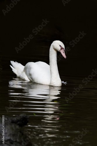 Fotobehang White swan with reflextion on water