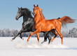 two arab horses in winter