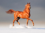 arabian horse in winter