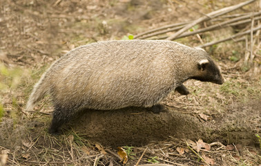 badger Amur