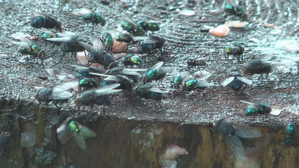 HD 1080 shot of flies eat waste.