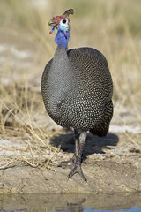 Guinea-fowl standing at waterhole; Numida meleagris