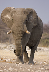 Elephant bull walking in rocky field; Loxodonta Africana