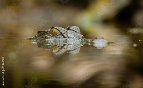 Salt water crocodile with reflection in the water