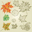 Vector set of autumn leafs - design elements. Thanksgiving