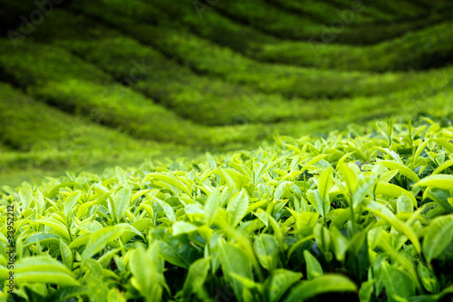 Tea plantation Cameron highlands, Malaysia - 33952212