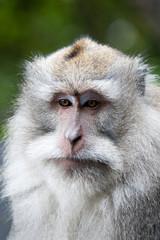 macaque on bali