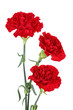 Three carnation flowers