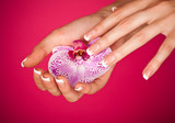 Fototapety Finger with beautiful manicure touch a wet pink rose