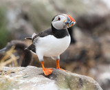 Puffin (Fratercula arctica) with its beak full of Sand Eels poster