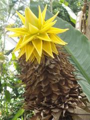 Bananier Lotus d'Or - Musella lasiocarpa