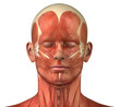 Постер, плакат: Facial muscular system anatomy front anterior view