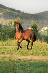 Braunes Pferd galoppiert ausgelassen auf der Weide