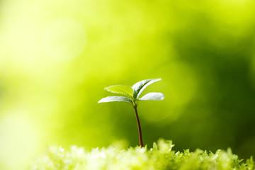 ナツツバキの苗木