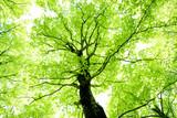Fototapety ブナの新緑