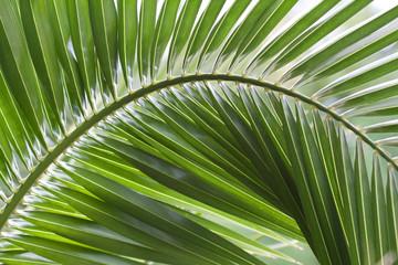 Palme de Phoenix