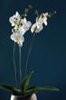 White orchid plant