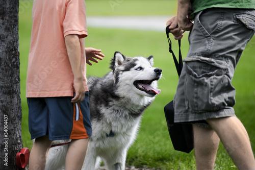 Petting a Husky