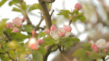 Apple tree branches with rosebuds on wind