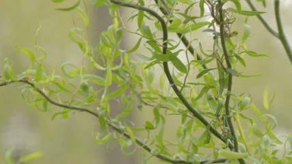 Green willow branches swaying on wind