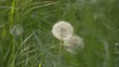 Couple of dandelions among weeds on wind