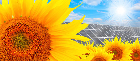 Sunflowers and photovoltaic panel, alternative energy source.