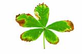Horse Chestnut Leaf affected by leaf miner moth poster