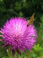 insetti su fiore di cardo