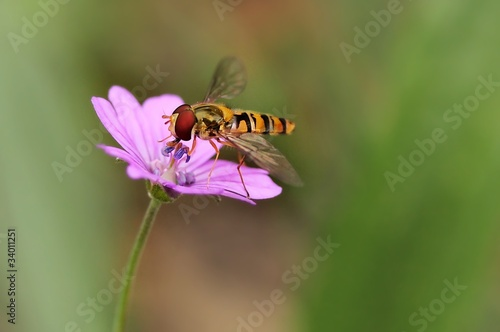 flowerfly on a pin flower