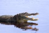 Alligator in the wild,Upper Myakka Lake,Sarrasota,Florida