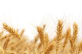 Wheat - 34013851