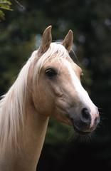 portraitt de trois quart d'un cheval palomino