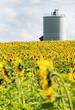 Sunflowerfield with silo