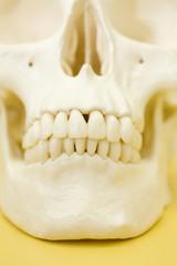 頭蓋骨の模型