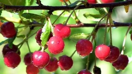 cherry berries