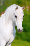white horse portrait in summer day