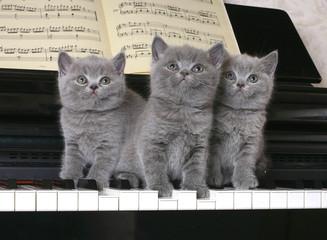 Three  British kitten on the piano
