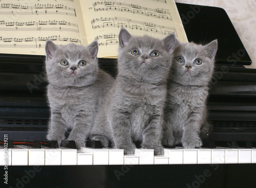 Three  British kitten on the piano