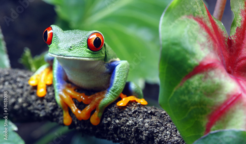Red-Eyed Tree Frog - 34031098
